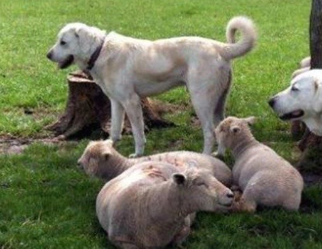 With sheep season over many Abkash guadian dogs are left to fend for themselves in rural Nevada.